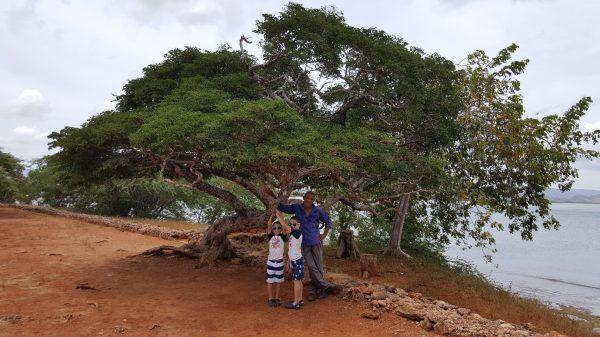 El árbol más antiguo de la zona que se conserva. Guayacán de más de 700 años